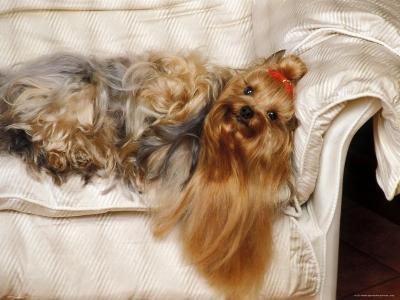 Yorkshire Terrier Lying on Couch-Adriano Bacchella-Photographic Print