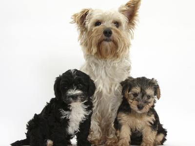 Yorkshire Terrier Mother, Evie, and Yorkipoo Pups, 7 Weeks Old-Mark Taylor-Photographic Print