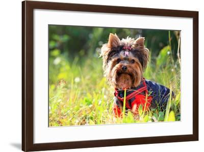 Yorkshire Terrier Outdoors-photobac-Framed Photographic Print