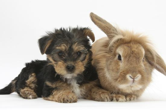Yorkshire Terrier Puppy, 8 Weeks, with Sandy Lionhead-Cross Rabbit-Mark Taylor-Photographic Print