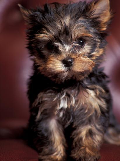 Yorkshire Terrier Puppy Portrait Photographic Print By Adriano Bacchella Art
