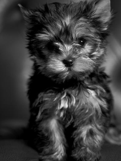 Yorkshire Terrier Puppy Portrait-Adriano Bacchella-Photographic Print