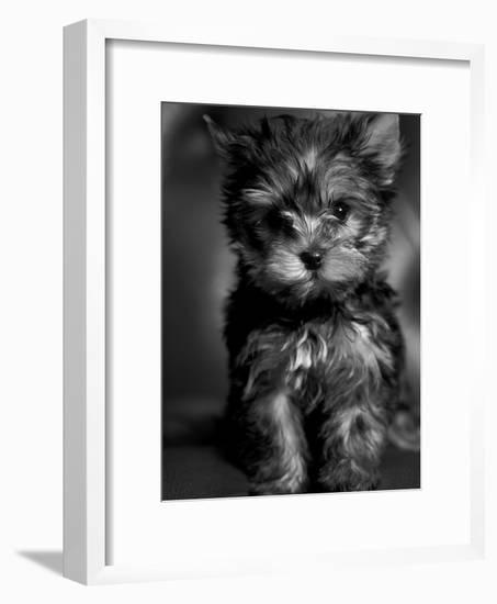 Yorkshire Terrier Puppy Portrait-Adriano Bacchella-Framed Photographic Print