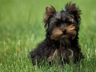 Yorkshire Terrier Puppy Sitting in Grass-Adriano Bacchella-Photographic Print