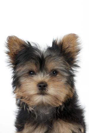 https://imgc.artprintimages.com/img/print/yorkshire-terrier-puppy_u-l-q106acp0.jpg?p=0