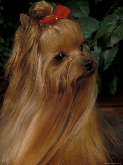 Yorkshire Terrier With Hair Tied Up And Long Hair Photographic Print