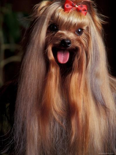 Yorkshire Terrier with Hair Tied up and Panting-Adriano Bacchella-Photographic Print