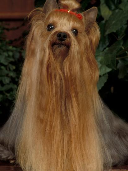 Yorkshire Terrier With Hair Tied Up And Very Long Hair Photographic Print By Adriano Bacchella Art Com