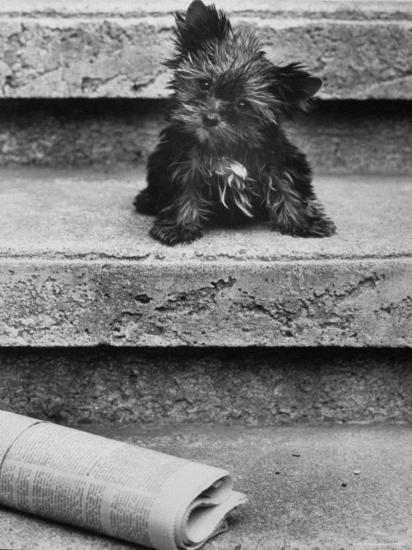 Yorkshire Terriers-Nina Leen-Photographic Print