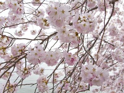 Yoshino Cherry Blossoms During the Cherry Blossom Festival-Scott Warren-Photographic Print