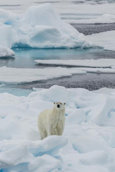 Young Adult Polar Bear (Ursus Maritimus) on Ice in Hinlopen Strait-Michael Nolan-Photographic Print