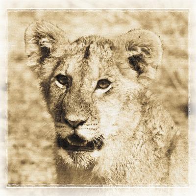 Young Africa Lion-Susann Parker-Photographic Print