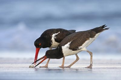 Young American Oystercatcher (Haematopus Palliatus) Snatching Food from Adult on the Shoreline-Mateusz Piesiak-Photographic Print