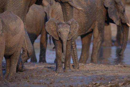 Young and Adult African Elephants-DLILLC-Photographic Print