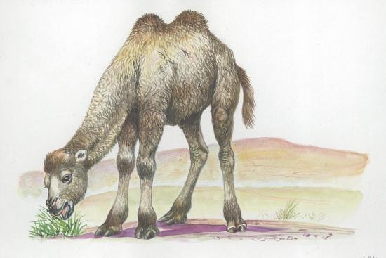 Young Bactrian Camel Camelus Bactrianus--Giclee Print