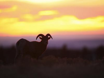 Young Bighorn Sheep Ram Basks in the Early Morning Sun in Wyoming-Drew Rush-Photographic Print