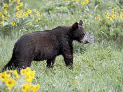 Young Black Bear Among Arrowleaf Balsam Root, Animals of Montana, Bozeman, Montana, USA-James Hager-Photographic Print