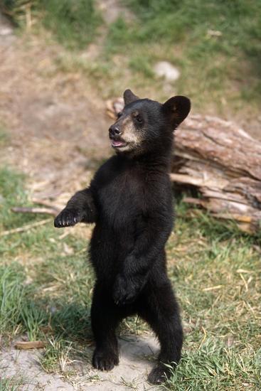 Young Black Bear Cub Standing Upright Captive Alaska Wildlife Conservation Center Summer-Design Pics Inc-Photographic Print