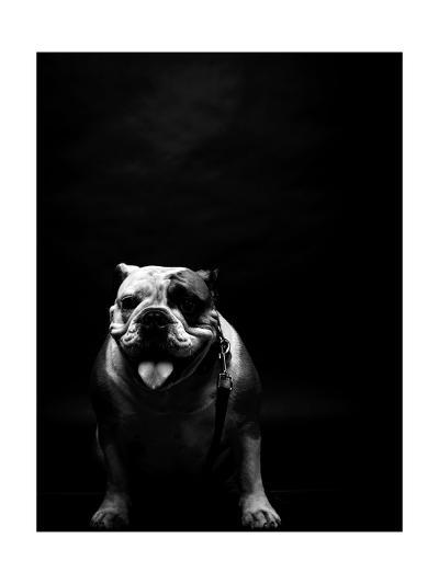 Young Bulldog In Studio-svedoliver-Art Print