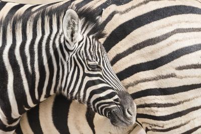 Zebra dejting