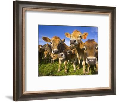 Young Calves in Pasture in New Zealand-John Eastcott & Yva Momatiuk-Framed Photographic Print