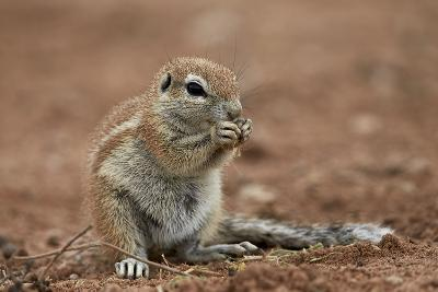 Young Cape Ground Squirrel (Xerus Inauris) Eating-James Hager-Photographic Print