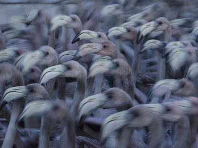 Young Caribbean Flamingos are Herded into an Enclosure to Be Banded-Klaus Nigge-Photographic Print