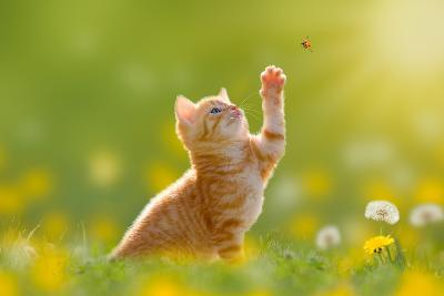 Young Cat / Kitten Hunting a Ladybug with Back Lit- Photo-SD-Photographic Print