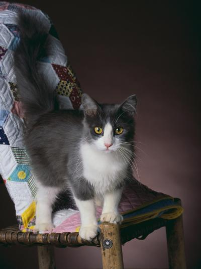 Young Cat Standing on Quilt-DLILLC-Photographic Print