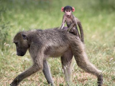 Young Chacma Baboon Riding on Adult's Back in Kruger National Park, Mpumalanga, Africa-Ann & Steve Toon-Photographic Print