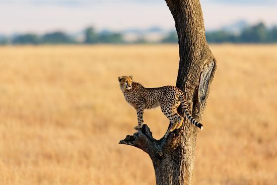 Young Cheetah in the Tree in Masai Mara, Kenya-Maggy Meyer-Photographic Print