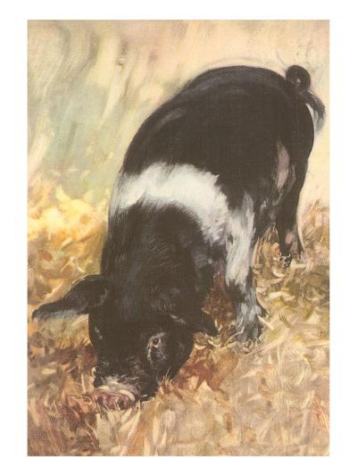 Young Chester White Pig--Art Print