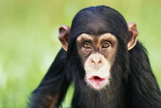 Young Chimpanzee Puckering-DLILLC-Photographic Print