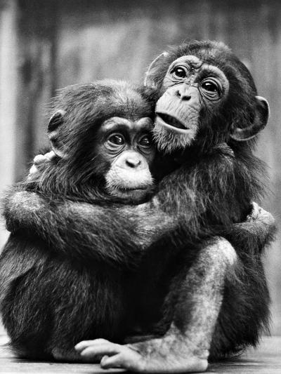 Young Chimpanzees--Photographic Print
