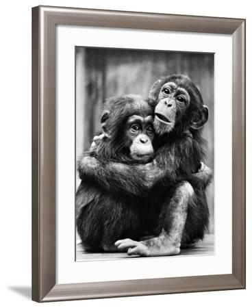 Young Chimpanzees--Framed Photographic Print