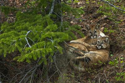 Young Cougars Rest under a Pine Tree in Wyoming's Bridger Teton National Forest-Steve Winter-Photographic Print