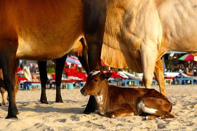 Young Cow, Bos Taurus, Relaxing at Baga Beach-Jill Schneider-Photographic Print