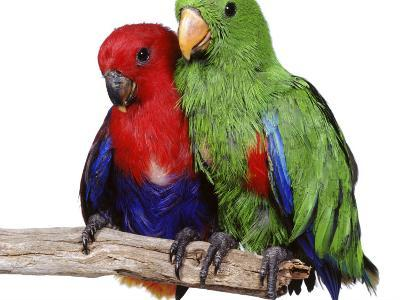 Young Eclectus Parrots, Female Left, Male Right, 12-Wks-Old-Jane Burton-Photographic Print