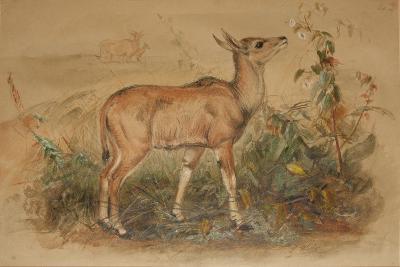 Young Eland-Joseph Wolf-Giclee Print
