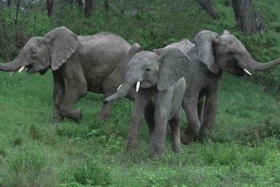 Young Elephants in Field during Standoff-DLILLC-Photographic Print