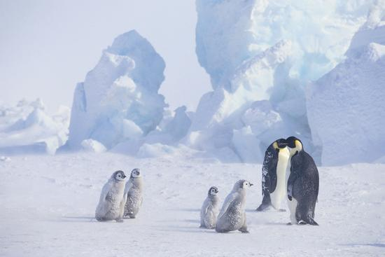 Young Emperor Penguins and Adult-DLILLC-Photographic Print