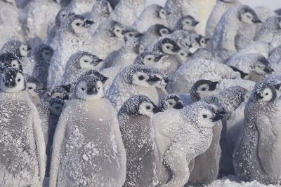 Young Emperor Penguins Covered in Snow-DLILLC-Photographic Print