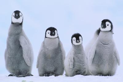 Young Emperor Penguins-DLILLC-Photographic Print