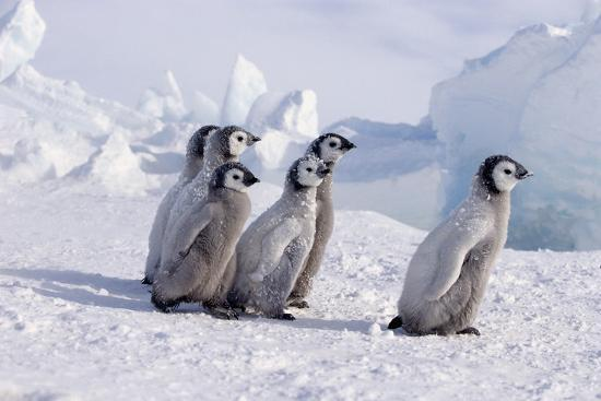 Young Emperor Penguins-DLILLC-Photographic Print