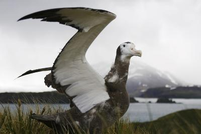 Young Endangered Wandering Albatross, Diomedea Exulans, Tests Wings-Ralph Lee Hopkins-Photographic Print