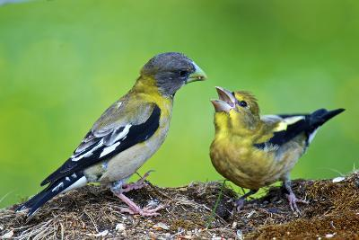 Young Evening Grosbeak Being Fed-Richard Wright-Photographic Print