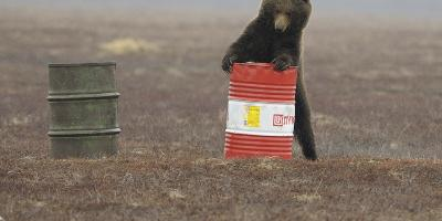 Young Female Kamchatka Brown Bear (Ursus Arctos Beringianus) Playing with Oil Drum-Igor Shpilenok-Photographic Print