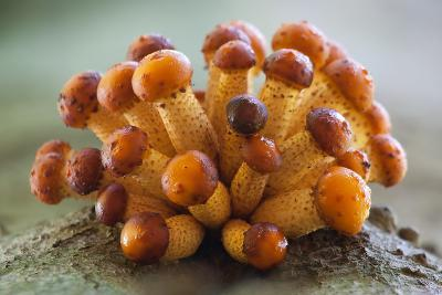 Young Golden Scale-Caps on the Rise to Maturity.-Ron van Elst-Photographic Print