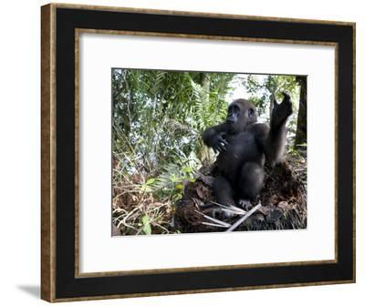 Young Gorilla in a Nest-Michael Polzia-Framed Photographic Print