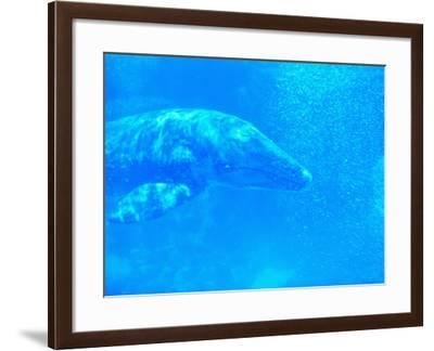 Young Gray Whale-Robert Marien-Framed Photographic Print